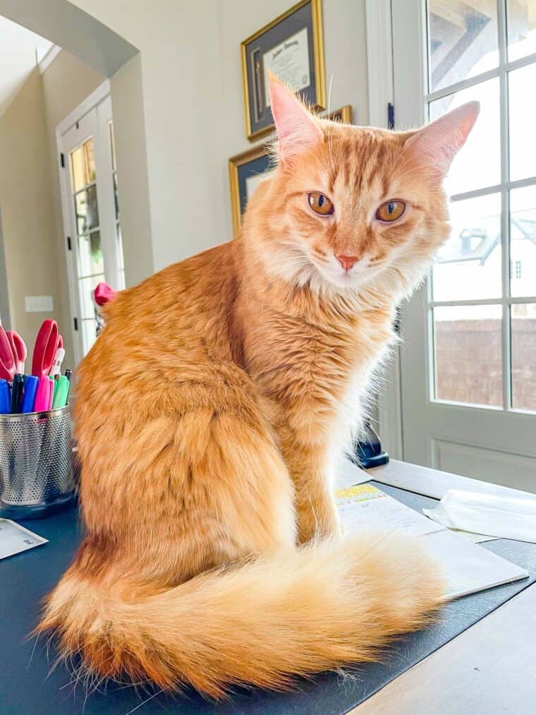 orange cat laying on a desk