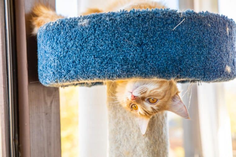 orange cat hanging upside down in cat tower