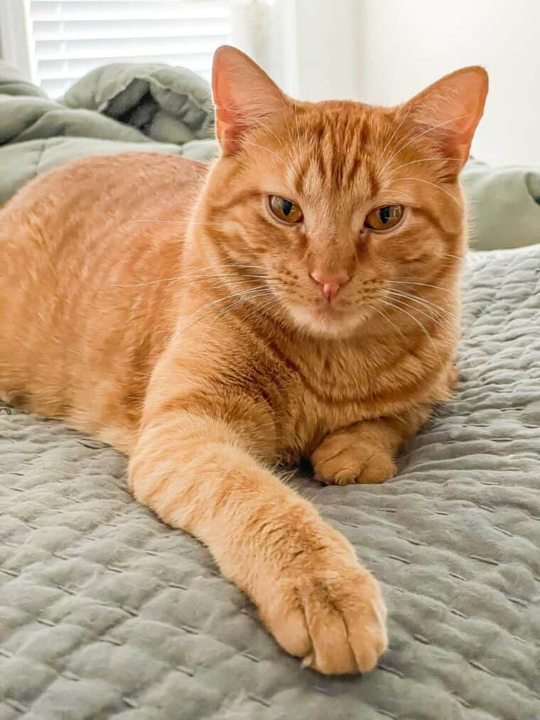 orange cat chilling on the bed