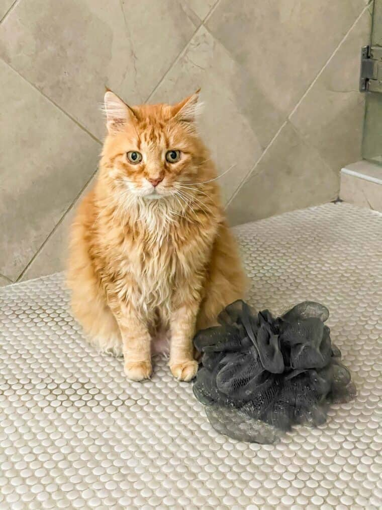 orange cat in the shower with a shower puff