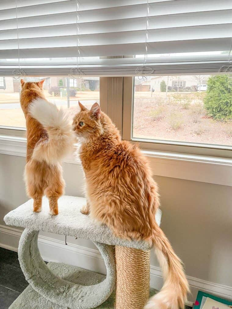 2 orange cats looking out the window