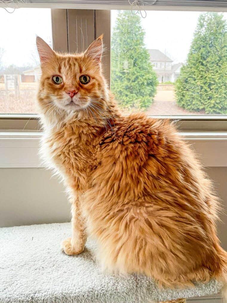 orange cat looking out window