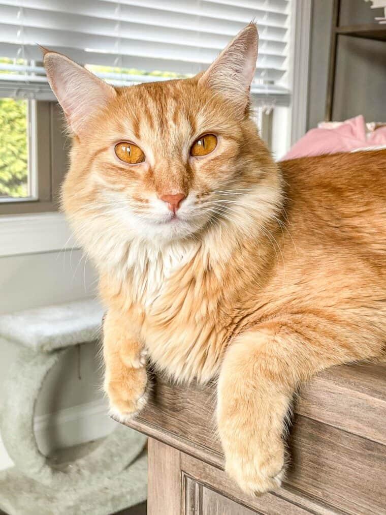 orange cat sitting on the edge of a desk