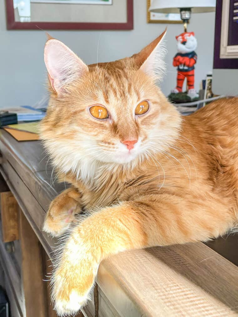 orange cat sitting on a desk