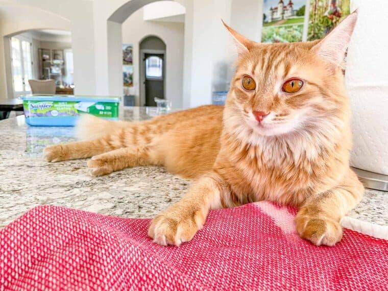 orange cat sitting on the counter