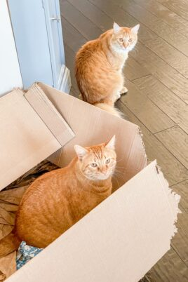 two orange cats - one in a box and one on the floor