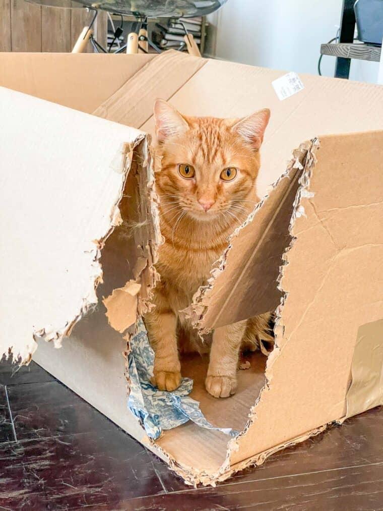 orange cat in a box