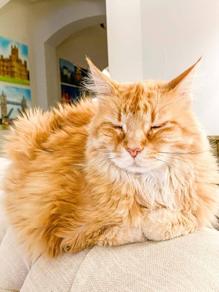 orange cat sitting on the sofa
