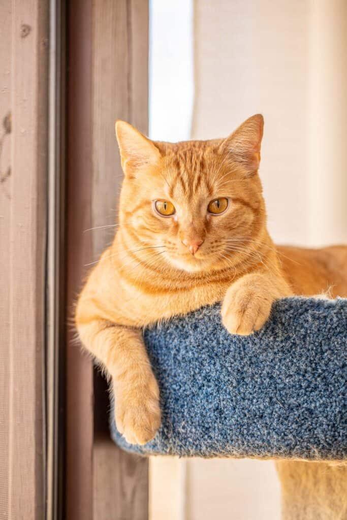 orange cat in the cat tower