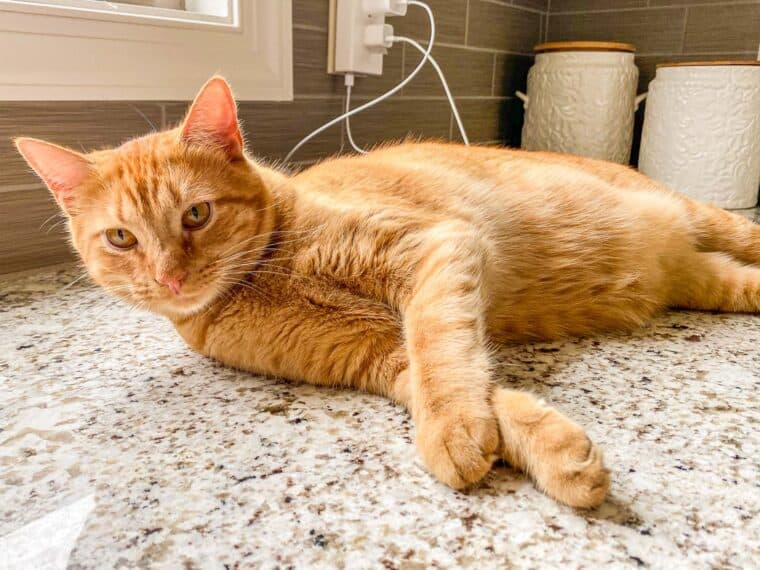 orange cat sitting on counter top