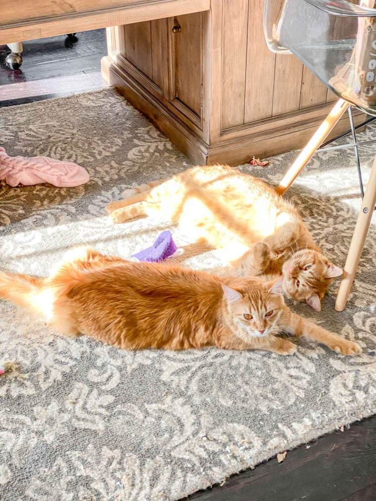 2 orange cats on the floor in the sun