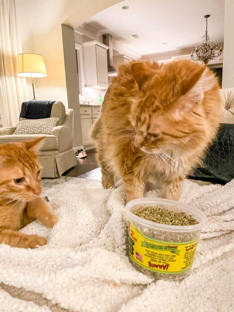 two orange cats eating catnip