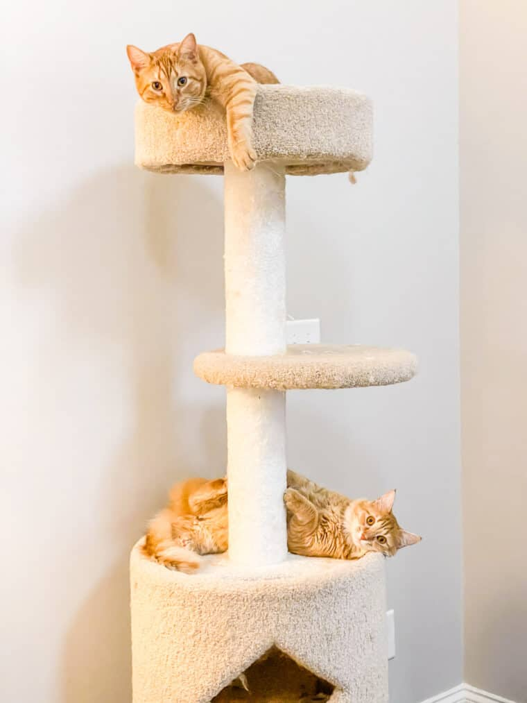 two orange cats on the cat tower