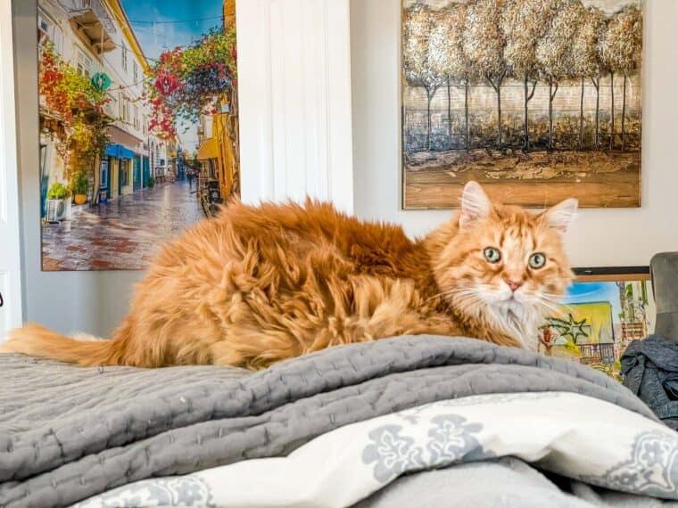 orange cat on the bed