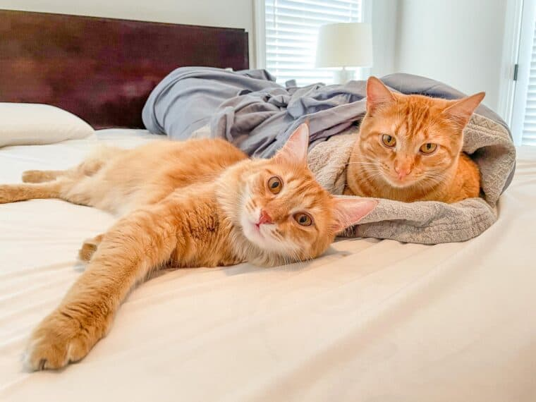 two orange cats playing in the sheets on the bed