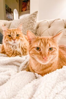 two orange cats on the sofa