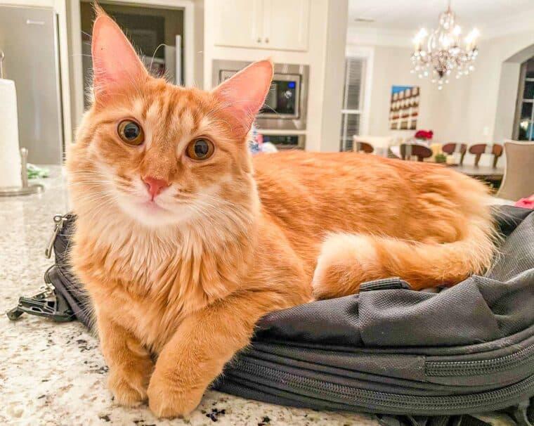 orange cat on a backpack