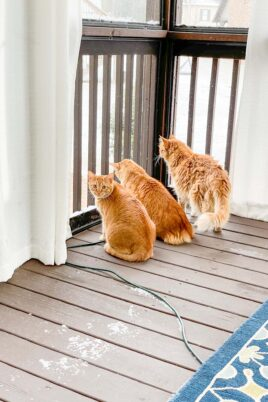 3 orange cats looking at the snow