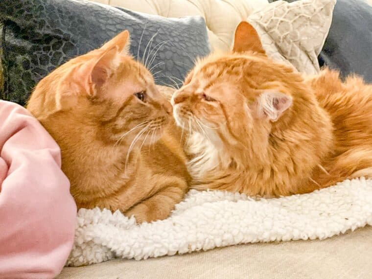 two orange cats on a blanket