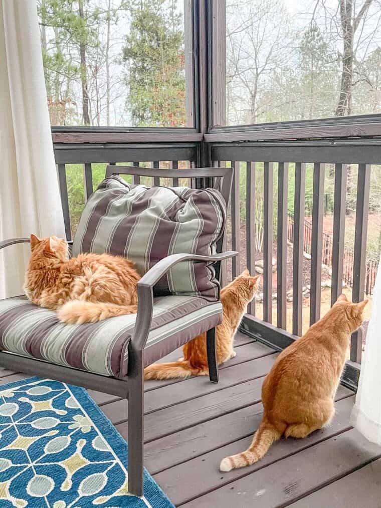 three orange cats outside