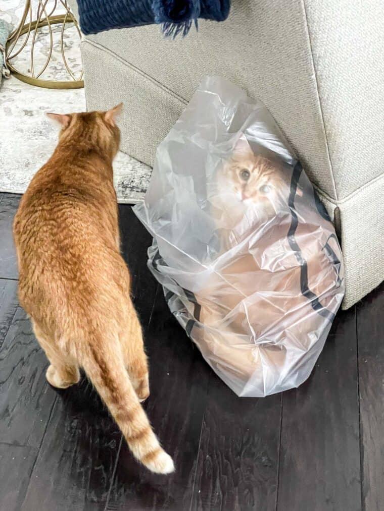 orange cat in a bag