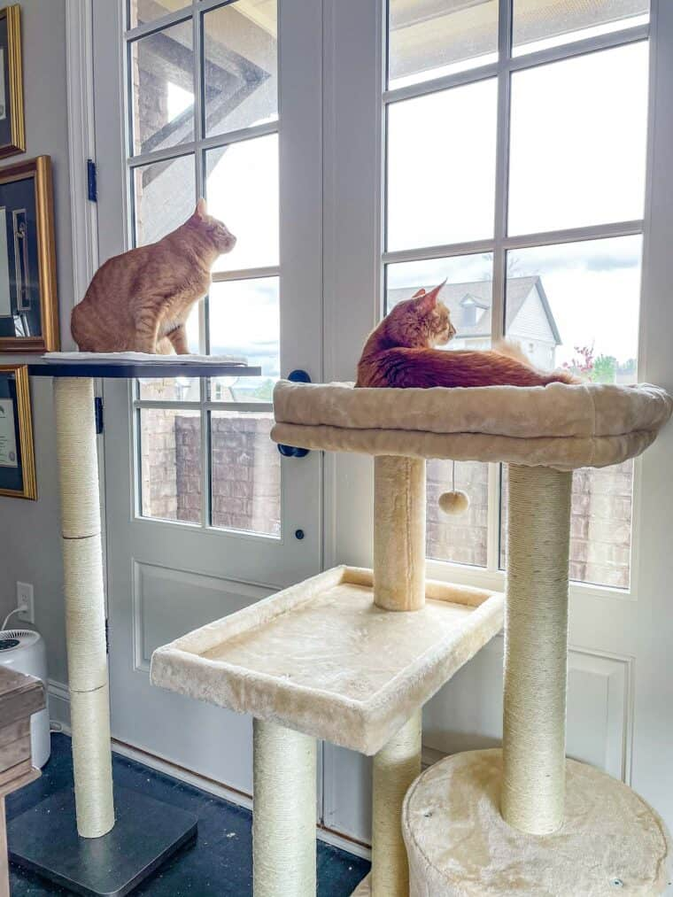 two orange cats on towers looking out the window