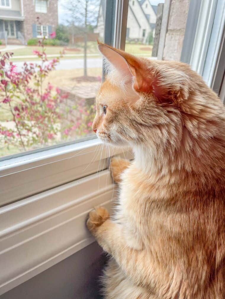 orange cat looking out the window