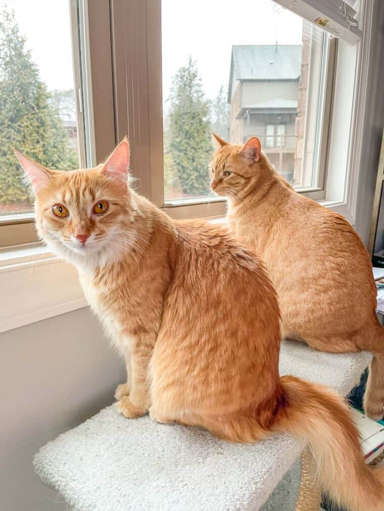 two orange cats looking out the window
