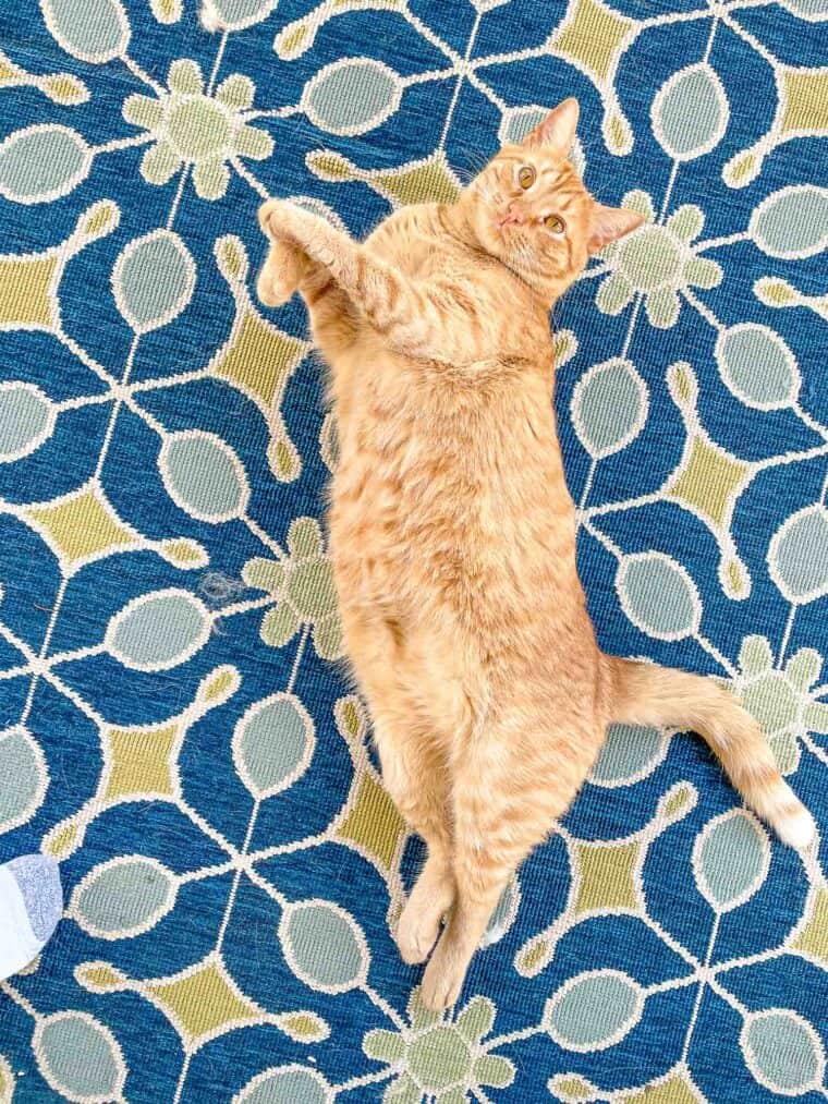 orange cat laying on its back