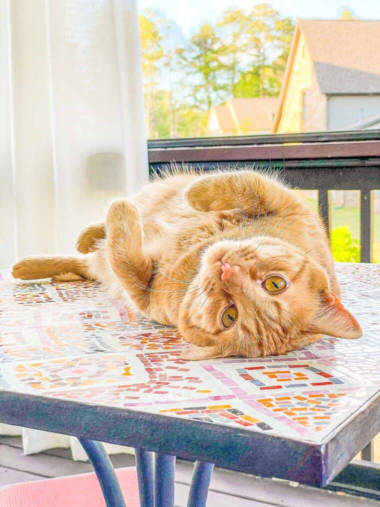 orange cat sitting on its back on a table outside
