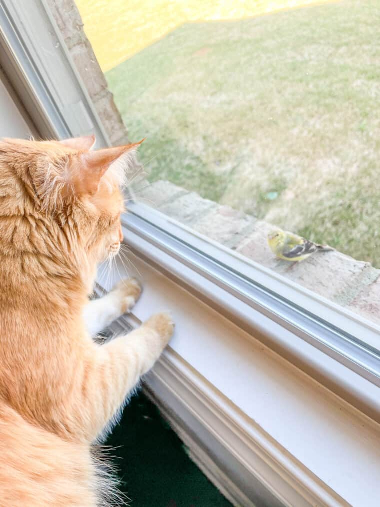 orange cat looking at a bird outside the window