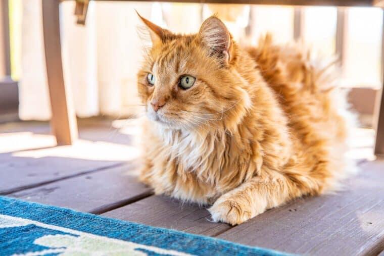 orange cat sitting under a chair
