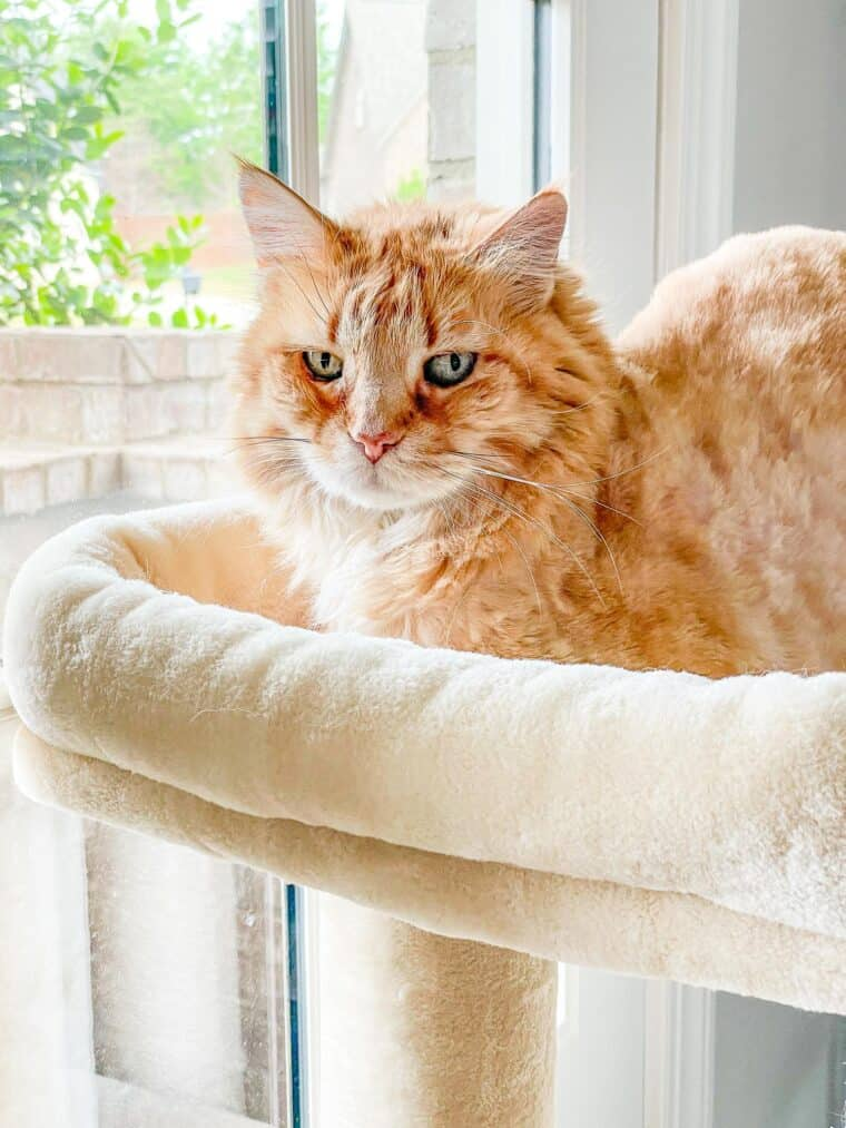 orange cat sitting in cat tower by the window