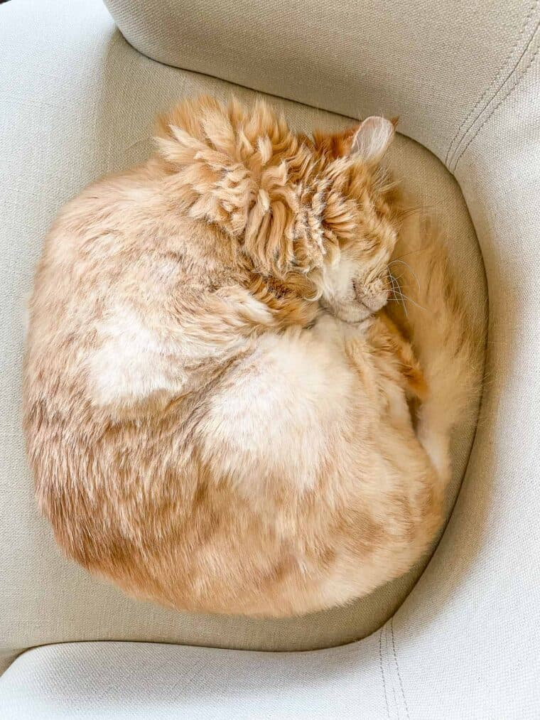 cat curled up in a ball in the office chair
