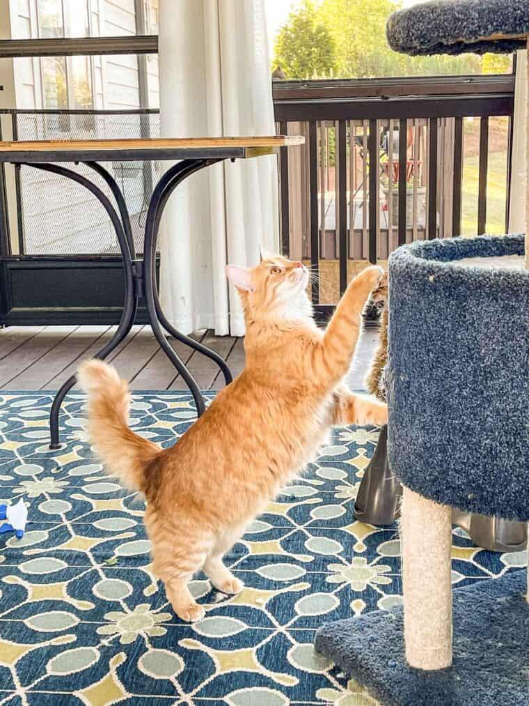 orange cat jumping onto cat tower