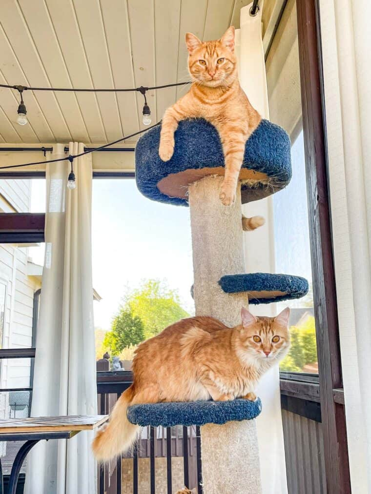 two orange cats in a cat tower
