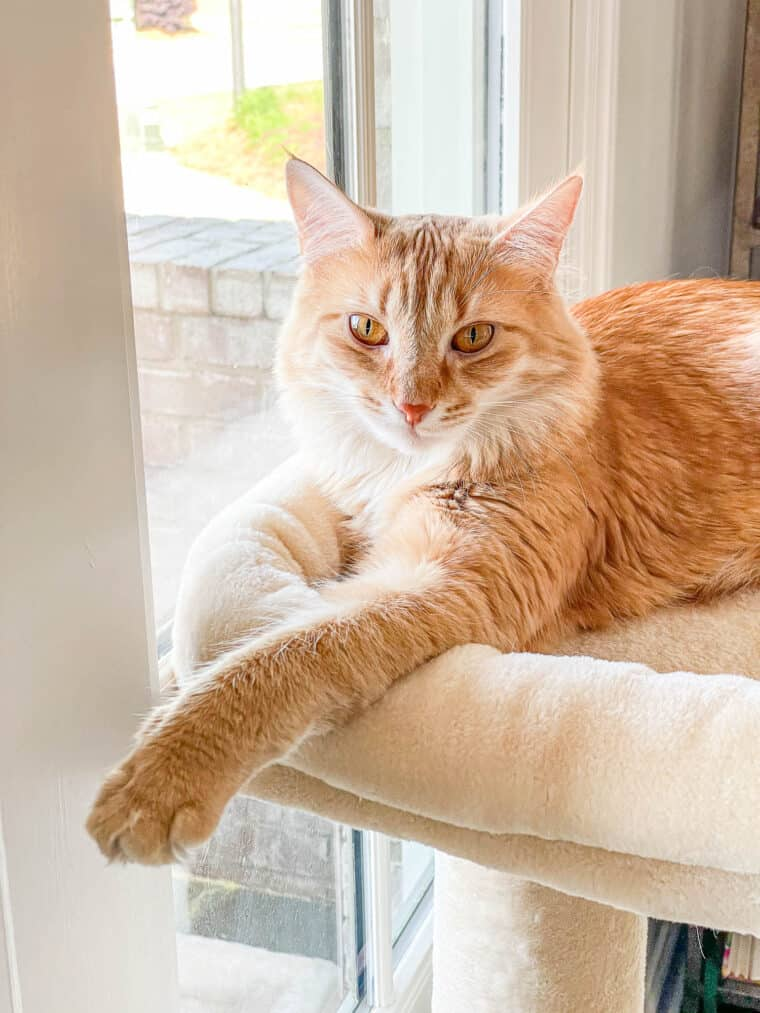 orange cat sitting in a cat tower by the window