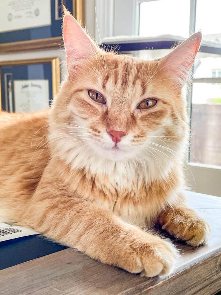 orange cat laying on a desk