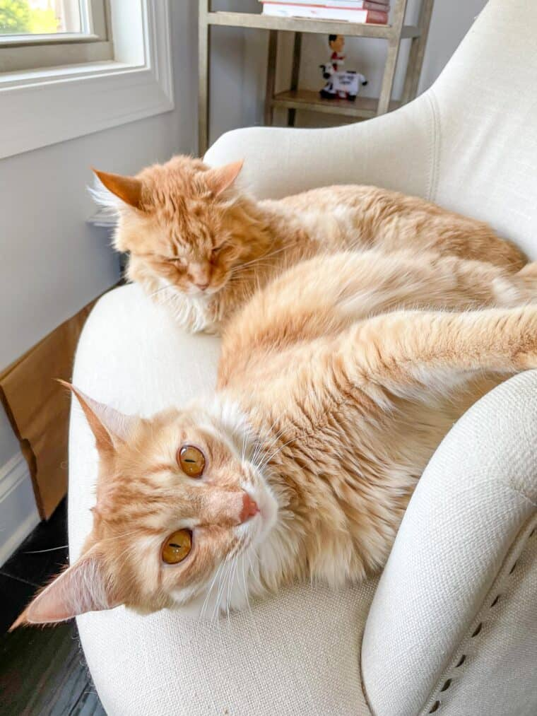 2 orange cats in a chair