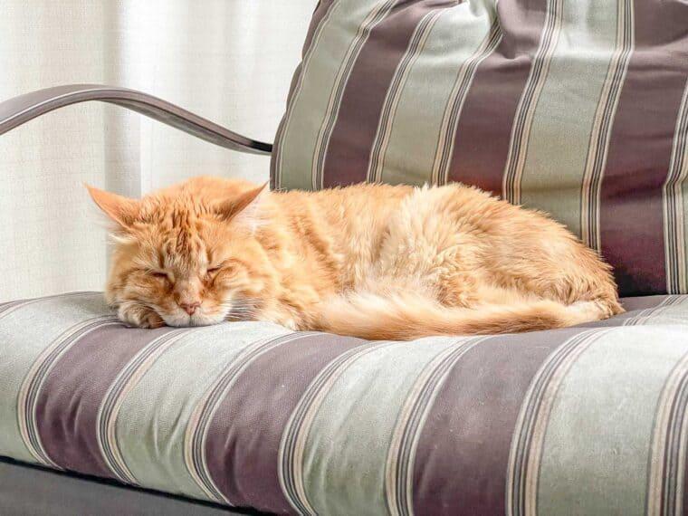 orange cat in a chair