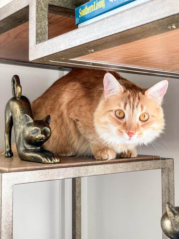 orange cat on a bookshelf
