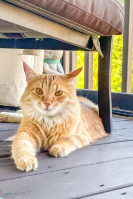 orange cat sitting on the deck under a chair
