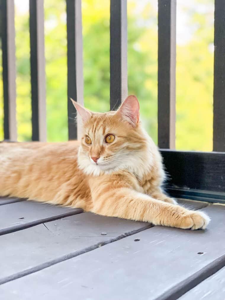 orange cat on the deck