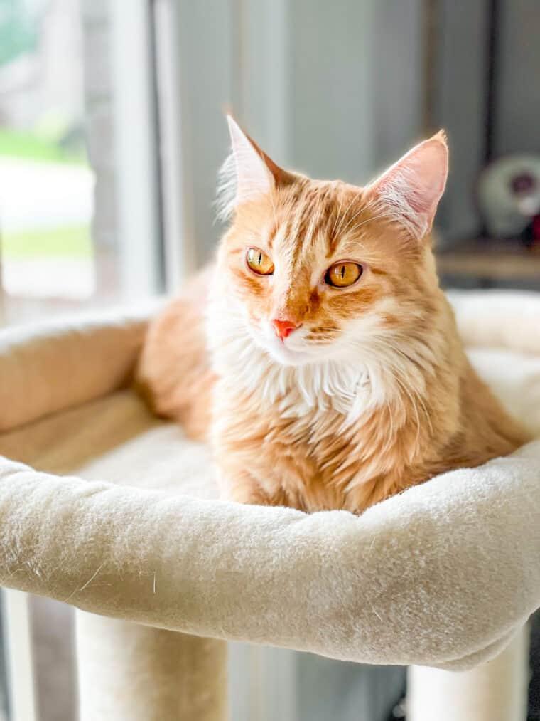 orange cat on a cat tower
