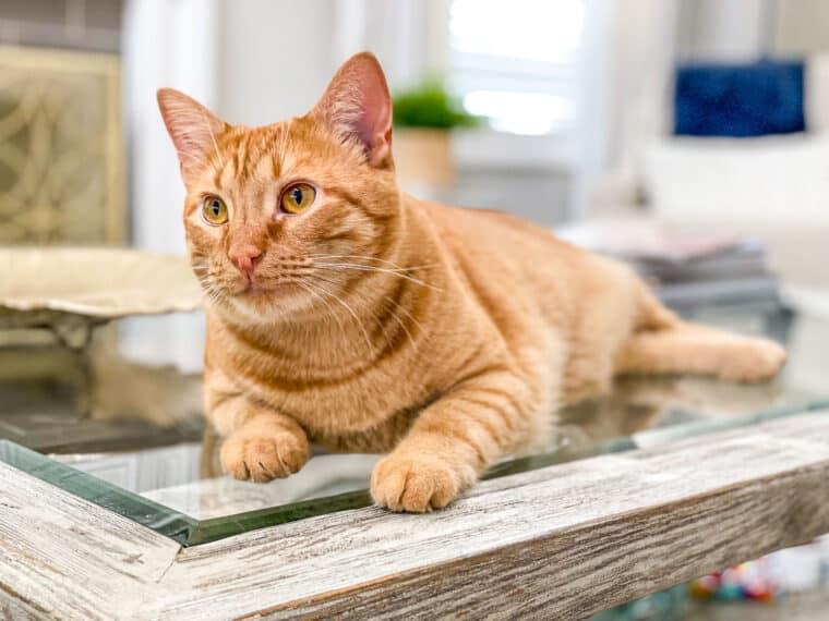 orange cat on a coffee table