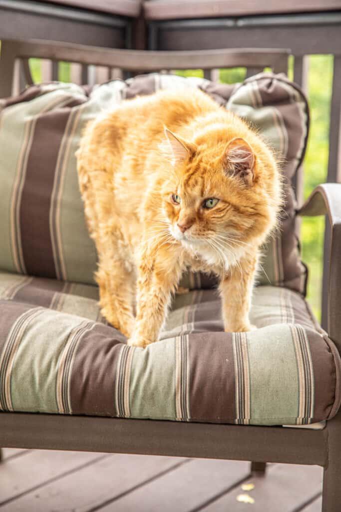 orange cat in a chair outside