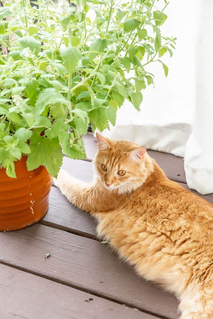 orange cat sitting next to catnip