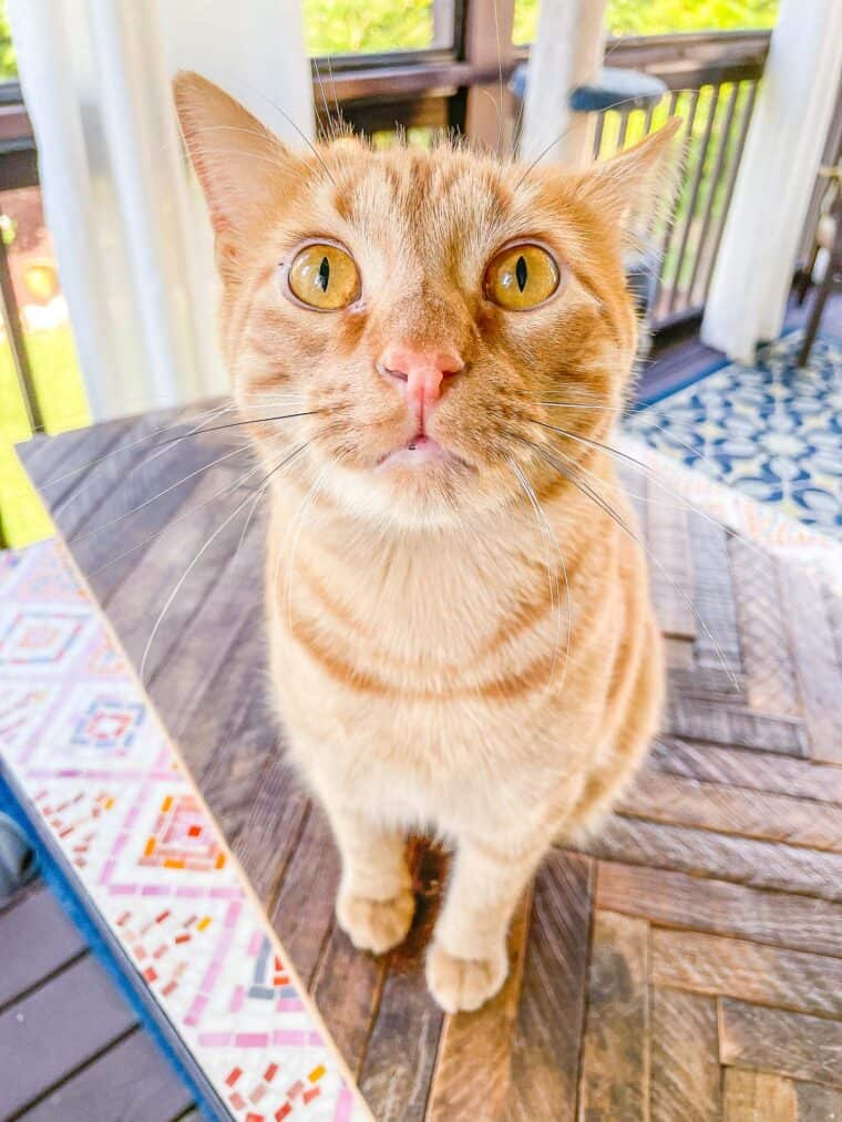 orange cat sitting outside on a table