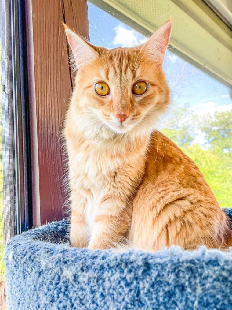 orange cat outside on the deck in a cat tower