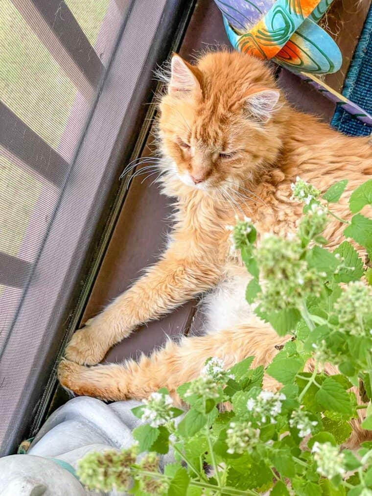 cat laying in the catnip